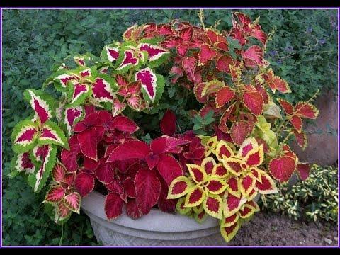 Красивые цветники с Колеусом -  прекрасное украшение вашего сада