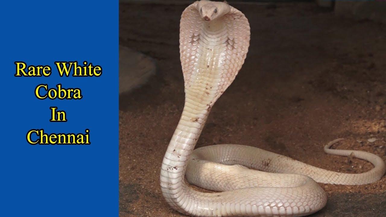 Rare White Cobra In Chennai Youtube