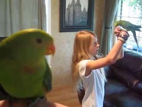 1-year-old handfed Barrabands (Superb Parrots) May 2015