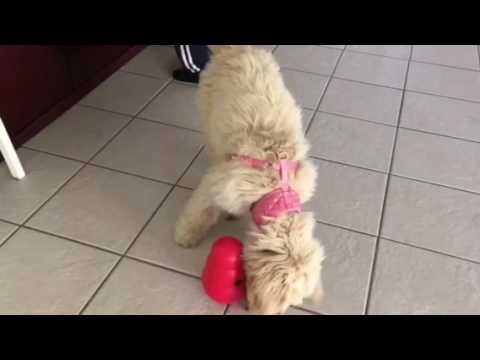 KONG product for dogs review(features a Goldendoodle puppy)
