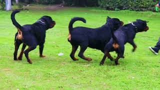 Gujral Rotweilers Kennel || Know All about Rotweilers | Scoobers.