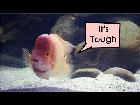 Red Devil Cichlid Demonstrates Responsibilities Of Fish Tank Boss