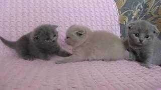MVI 5782  Вислоухие котята .