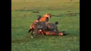 Не для слабонервных Гиены рвут на части антилопу