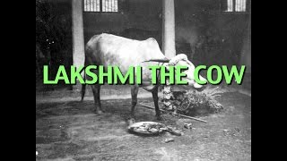 Talks on Sri Ramana Maharshi: Narrated by David Godman - Lakshmi the Cow