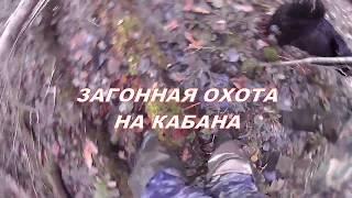 Загонная охота на кабана. Осень 2017. Калининградская область.