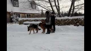 Training German Shepherd Puppies For Sale In Maine