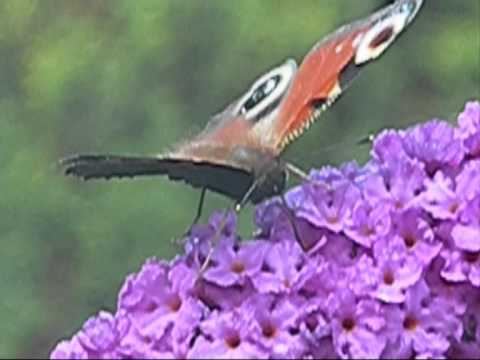 Peacock butterfly drinking nectar from buddleja