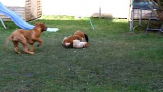 Dogue De Bordeaux Puppy Whisper Playing Attack Her Soft Toy Funny Sweet