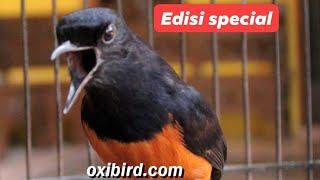 Download lagu Murai batu nembak edyann !!!  By oxibird