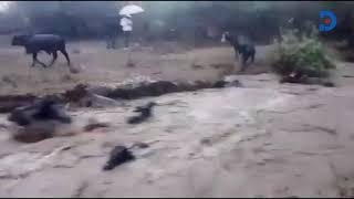 Cows swept away by raging floods in Kajiado