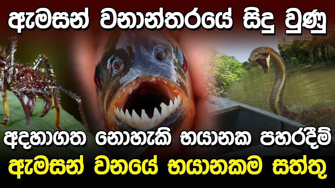 ඇමසන් වනාන්තරයේ භයානක පහරදීම්   Dangerous Attack in Amazon Forest  