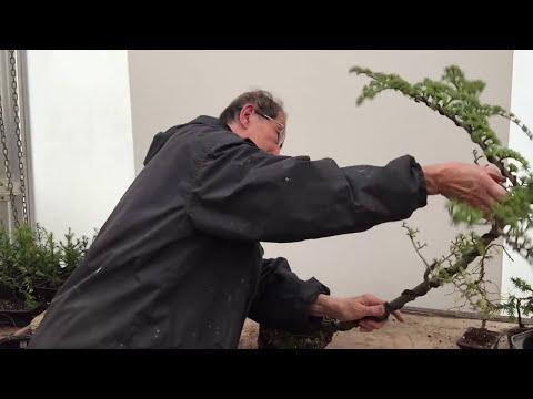 How to split a bonsai trunk