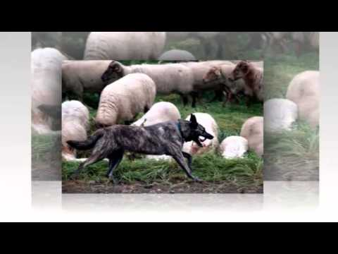 Собаки породы Голландская овчарка.