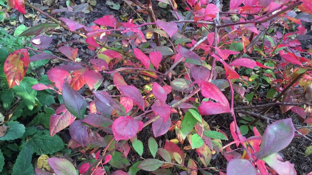 листья голубики