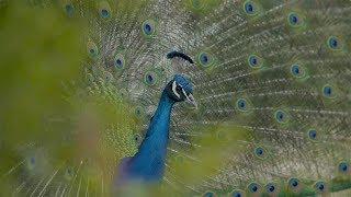 美しい羽を広げてニワトリにアピールしてみるも、カンペキに無視されるクジャクの悲哀