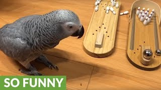 Parrot loves to play with mini bowling set