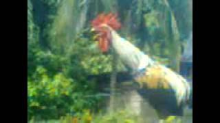 Download Video Lucu Ayam ini bisa ketawa MP3 3GP MP4
