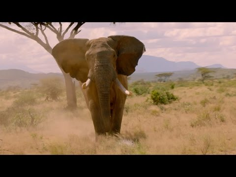 Elephant charges towards cameraman - Nature's Epic Journeys: Episode 1 Preview - BBC One