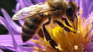 Селекция пчел Фильм Германия(Интересный научный фильм Германских пчеловодов о селекции медоносных пчел. В фильме рассмотрены схемы..., 2014-06-19T16:11:41.000Z)