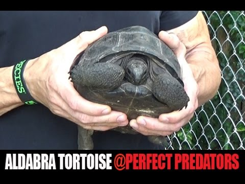 Aldabra and Red-Footed Tortoises at Perfect Predators- Part 1