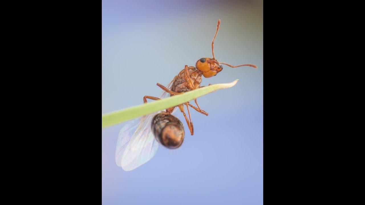 Invasive Species: Fire Ants - YouTube