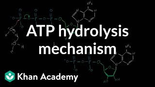 ATP hydrolysis mechanism | Biomolecules | MCAT | Khan Academy