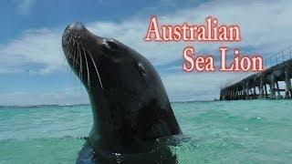 オーストラリアアシカ Australian sea lion アシカ カナック島 水中映像