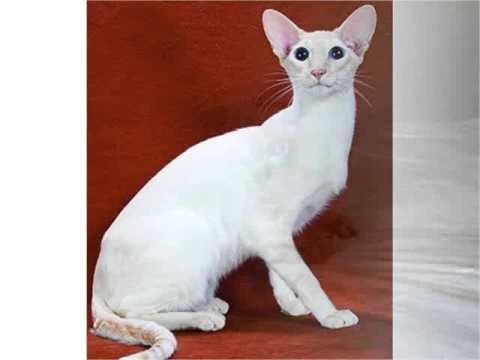 Colorpoint Shorthair cats colorpoint shorthair kitten or cat