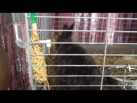 Konijn bouwt nestje (rex konijn) #1