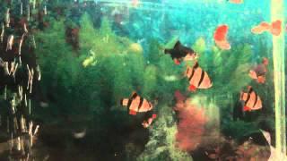 АКВАРИУМНЫЕ РЫБКИ: БАРБУСЫ (ДОСТАВКА ПО КИЕВУ: 0631394858)(КУПИТЬ АКВАРИУМНЫХ РЫБОК БАРБУСЫ СУМАТРАНСКИЕ http://goldfish.moy.su/index/0-12 ТЕЛ. 063 139 48 58 ДОСТАВКА ТОЛЬКО ПО ГОРОДУ..., 2013-04-07T21:00:13.000Z)