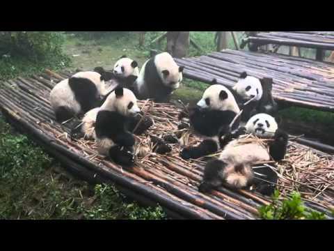 Chilled Pandas Enjoy Lunch