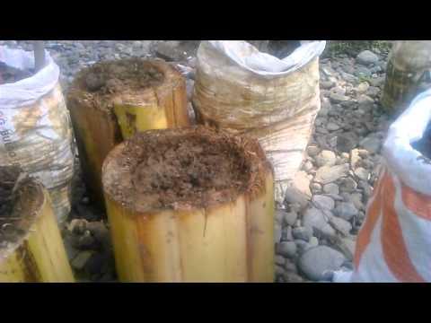 cara budidaya sawi putih dan caisim menggunakan gedebog pisang