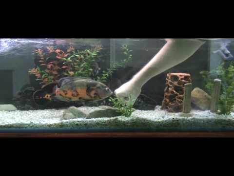 oscar fish vs my hand youtube