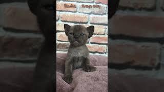 Соболиная бурманская девочка Bianka. Питомник бурманских кошек Freya Way