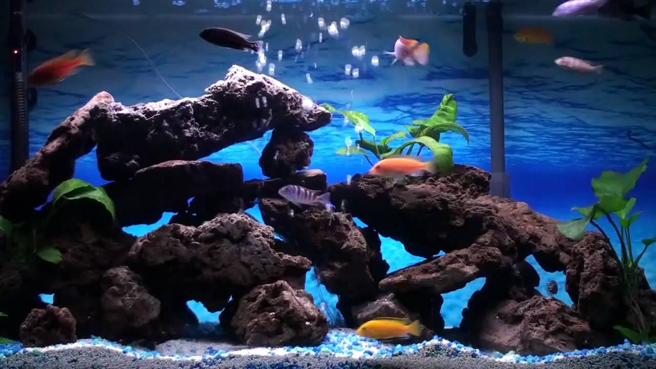 African Cichlids Aquarium Youtube