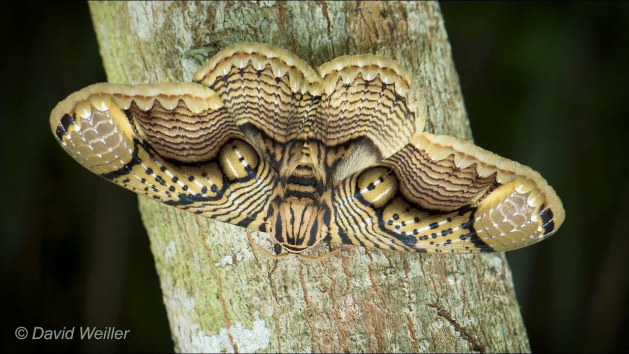 Fotógrafo retrata a una polilla gigante con «ojos de tigre» en sus ...