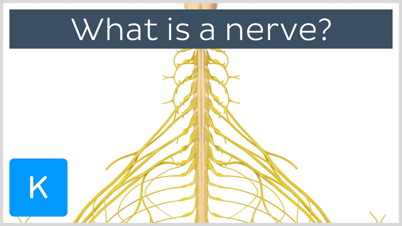 What Is A Nerve Human Anatomy Kenhub Youtube