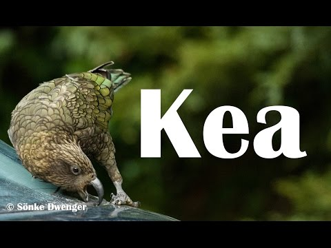 Kea – New Zealand's cheeky, curious and fascinating mountain parrot