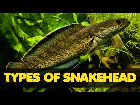 Types Of Freshwater Snakehead Fish