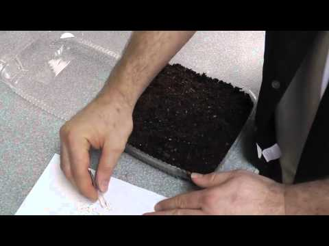 Growing Strawberries From Seeds of Store Bought Fruit