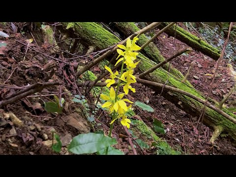 Japanese wild orchid hunt: the search for Calanthe sieboldii