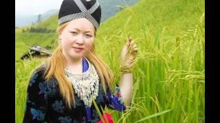 Paj Tshuav Nplaim 黄玫瑰