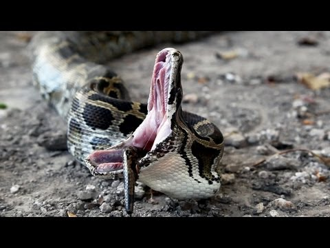 Python Eats Python