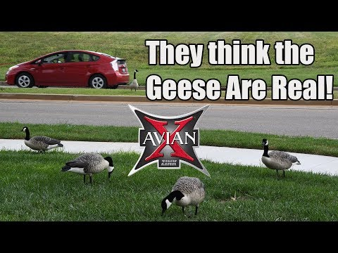 Testing Goose Decoys In The City!
