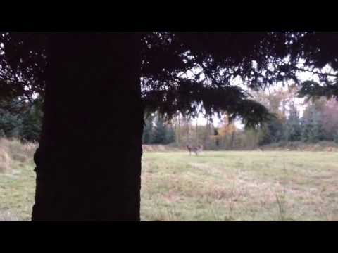 Juvenile Stags Fighting