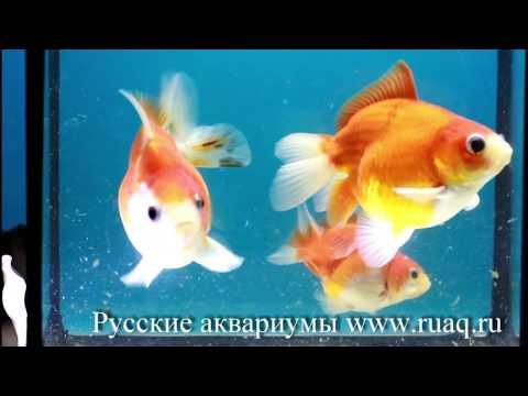 Вопрос: Как спасти умирающих золотых рыбок?