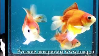 Золотые рыбки. Сортировка мальков