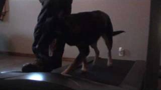 Treadmill Training Your Canine / Dog - Video Of Dog On Treadmill