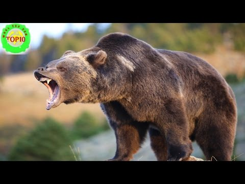 Top 10 Biggest Bears World